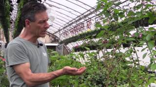 Growing Mulberries in Containers