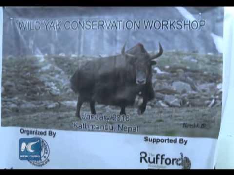 Wild yaks endangered in Nepal