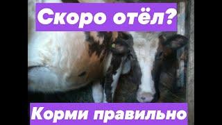 видео Когда корова начинает давать молоко – в каком возрасте
