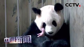 [中国新闻] 成都大熊猫基地:最重大熊猫宝宝降生 219克!| CCTV中文国际