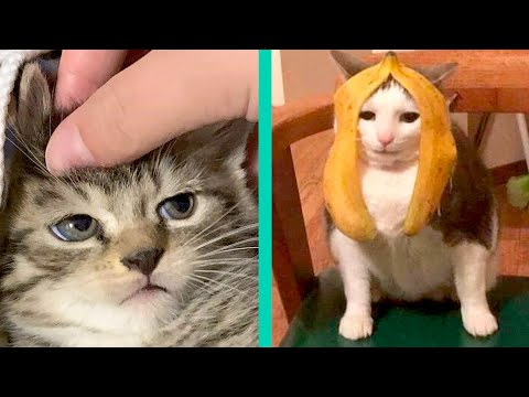 BEST CAT MEMES COMPILATION OF 2020 PART 22 (FUNNY CATS)