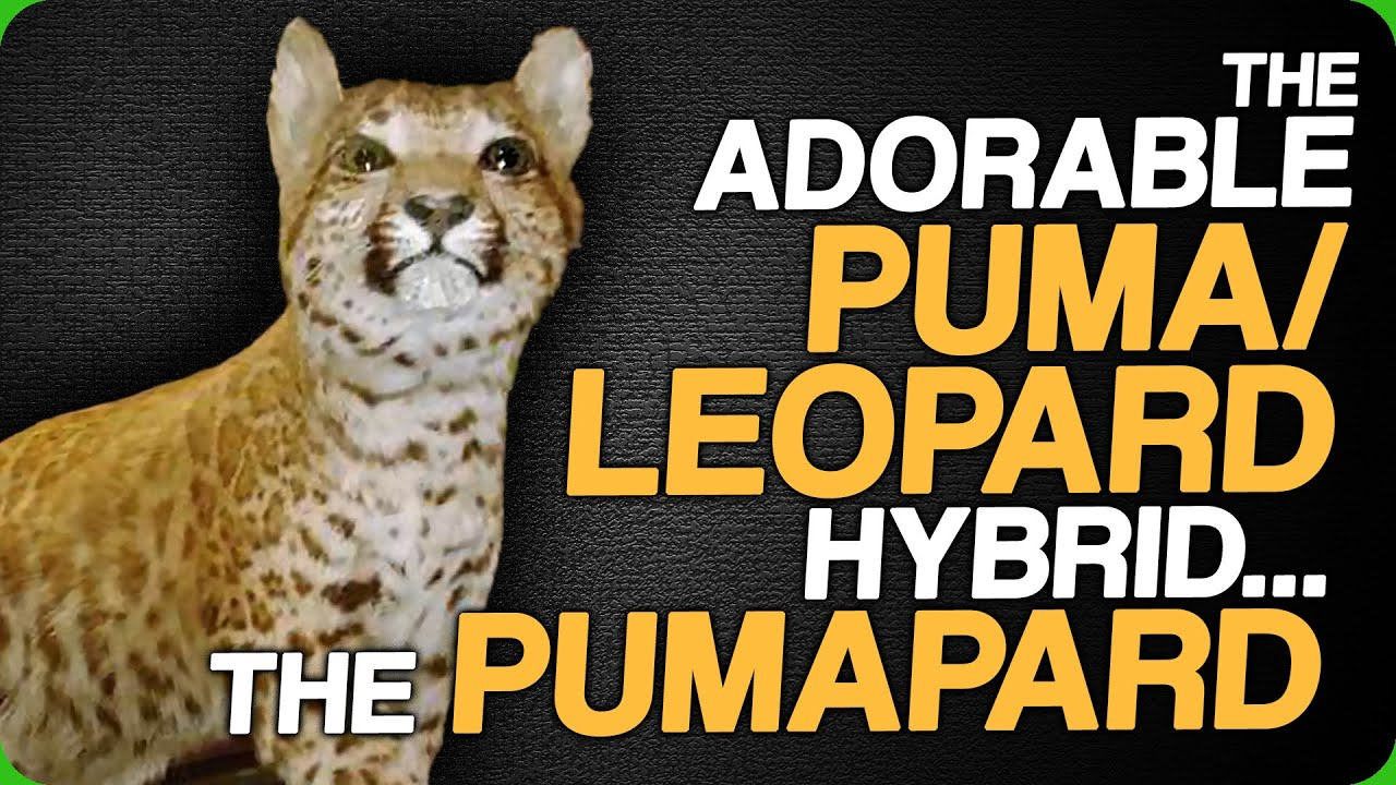 The Adorable Puma/Leopard Hybrid - The Pumapard (Guessing Animal Hybrids)
