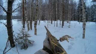 Охота на волков в январе в окладе с применением флажков