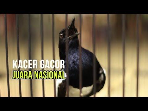 KACER JUARA NASIONAL 1.2M | OFFICIAL KICAU MANIA