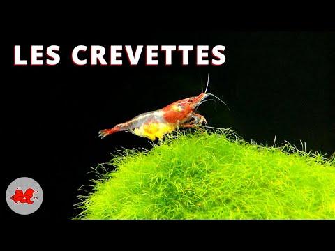 Les crevettes d'aquarium