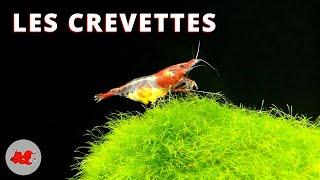 Les crevettes d'aquarium d…