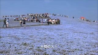 ひたち海浜公園 ネモフィラの丘2016 ネモフィラの丘 検索動画 20