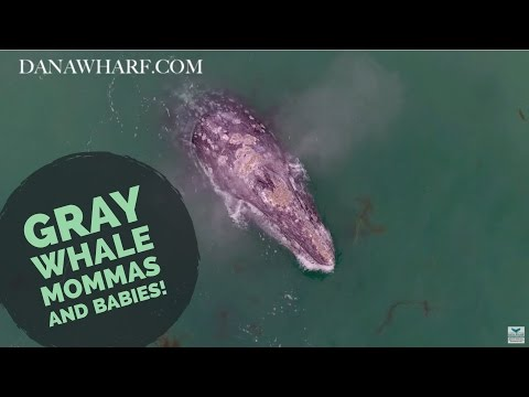 Gray Whale Mothers and Their Babies!