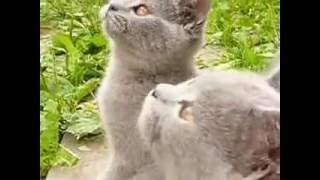 Британская голубая кошка.