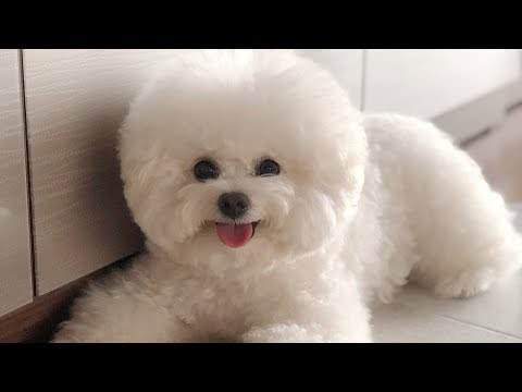 Cute Bichon Frise Puppies Videos Compilation – Cute And Funny Bichon Frise Moments #3