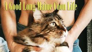 How long do indoor maine coon cats live?  Cat Facts: Maine Coon Lifespan