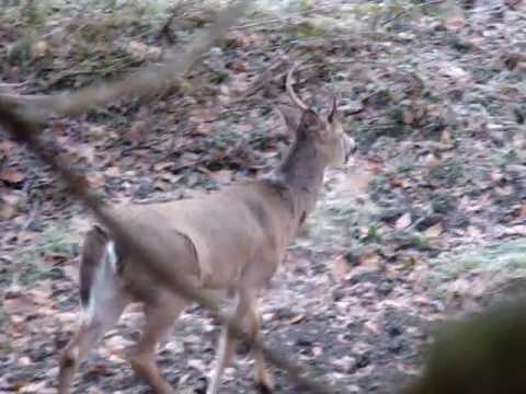 PA.  Buck grunt and chasing doe. Hunting in Pennsylvania 2011
