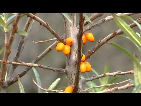 Видео Sea buckthorn hippophae rhamnoides в косметике