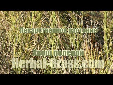 Хвощ полевой - полезные свойства, применение