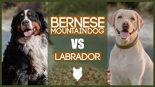 BERNESE MOUNTAIN DOG VS LABRADOR