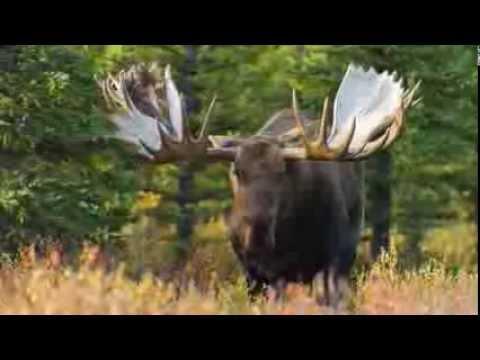 Monster Moose In Alaska Youtube