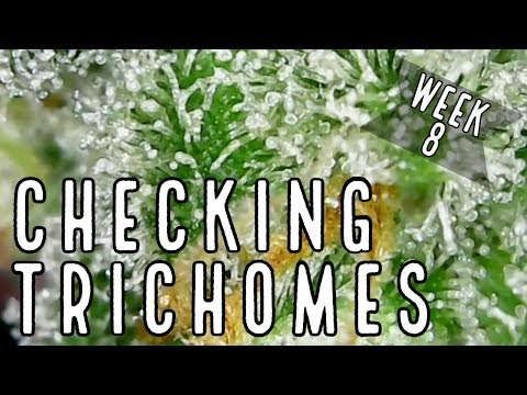 week-8:-how-to-check-trichomes