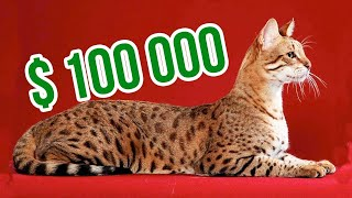 29Most Expensive Cat Breeds in the World