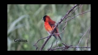 ¿Has visto un cardenalito? Esp