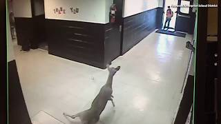 WATCH:  Deer Late For Classes Rushes Through School Hallways