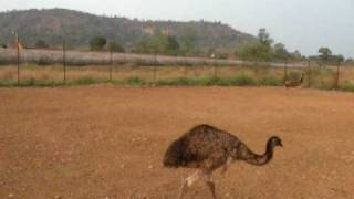 EMUs at Paramount Farms