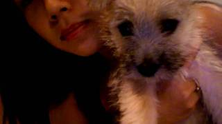 Puppy Cairn Terrier Mix Tuna
