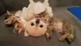 【可愛貓狗影片】可愛的小狗,不敢亂動的讓三隻小貓躺~