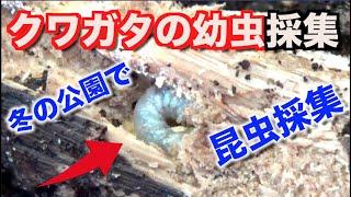 11月下旬、冬の公園へ初のカブトムシの幼虫採集へ。 (なかなか更新でき...