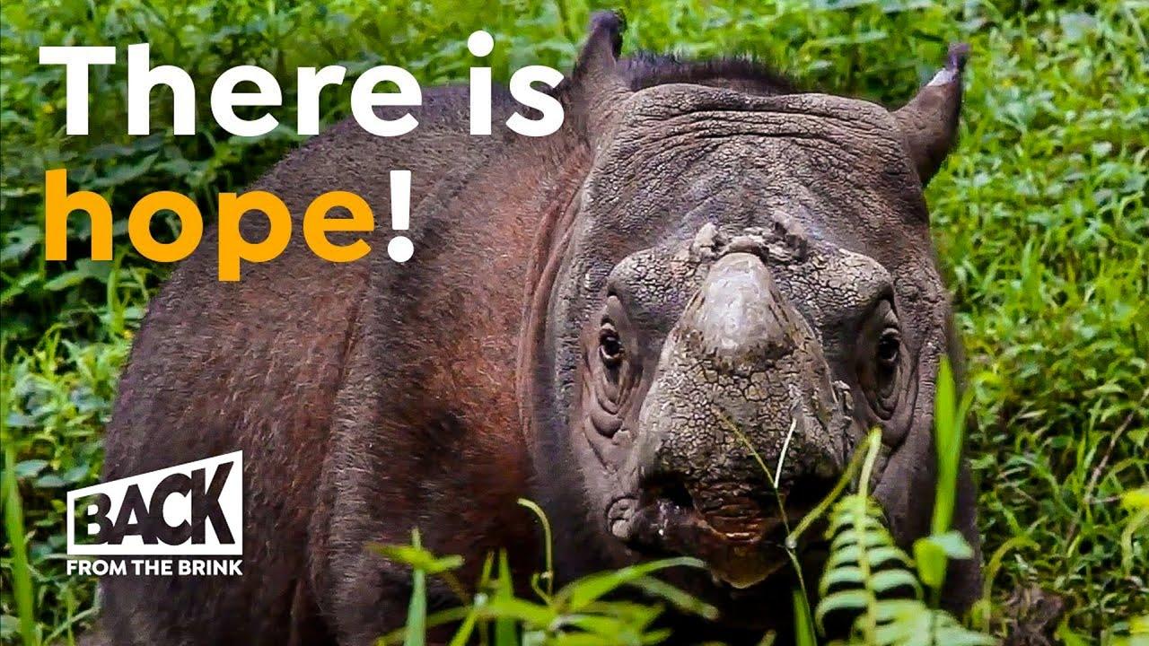 The Sumatran Rhino Now Extinct Is That True Youtube