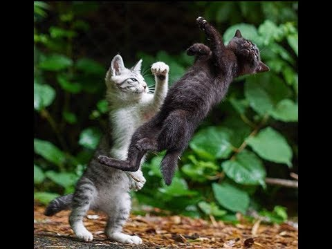 Cat Fight Sound Efect.. Make A Joke To Your Cat :)