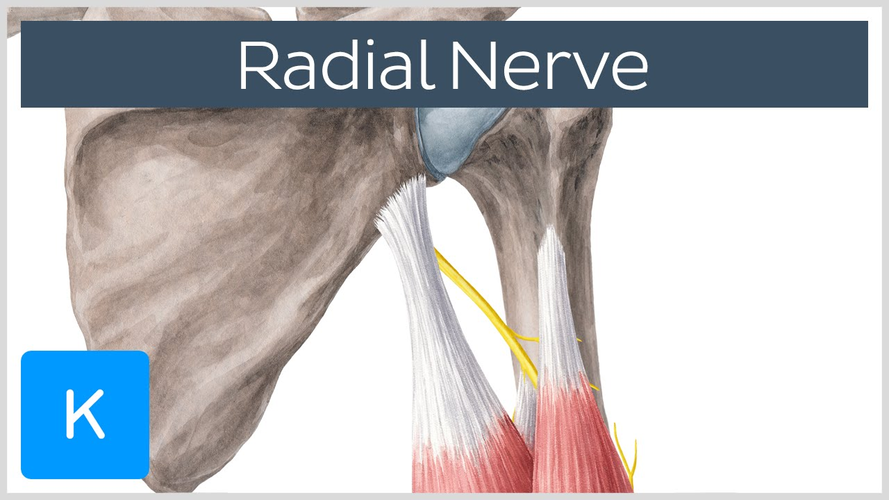 Radial Nerve Branches Course Innervation Human Anatomy