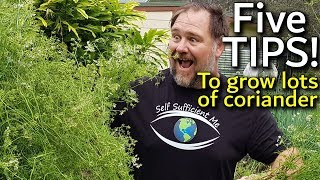5 Tips How to Grow a Ton of Coriander or Cilantro in Container/Garden Bed