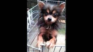 はじめまして。 Miu Miuこと、保護犬ミューちゃんです。 チワワとヨーク...