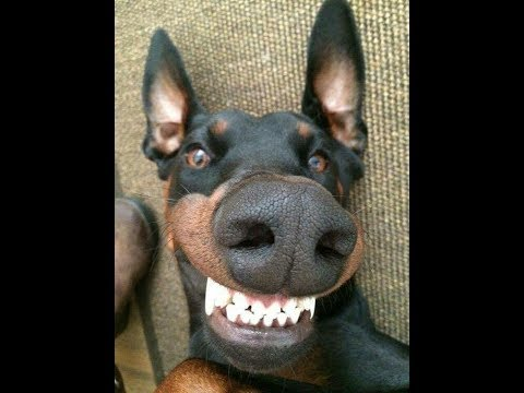 50 MINUTES OF DOBERMAN (funny doberman videos)