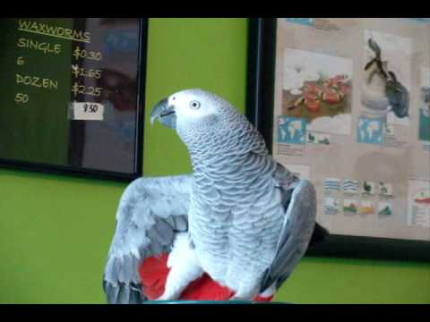 TALKING PARROT! AMAZING, HILARIOUS! (Subtitles Included)