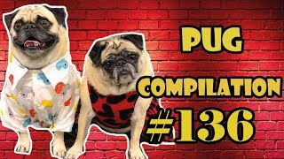 Funny Dogs but only Pug Videos | Pug Compilation 136  InstaPug