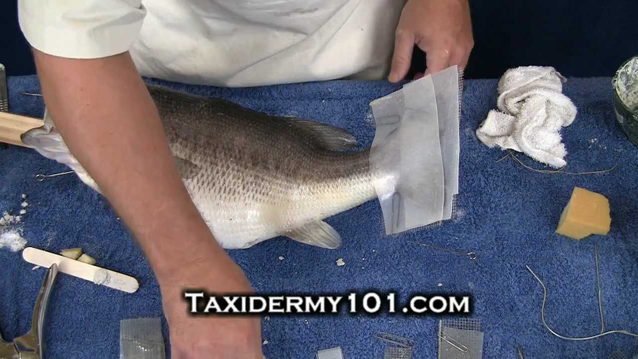 How to taxidermy fish taxidermy bass taxidermy youtube for How to taxidermy a fish