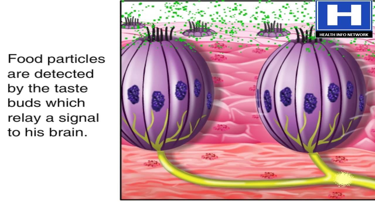 What Are Taste Buds How Taste Buds Works Taste Buds Physiology