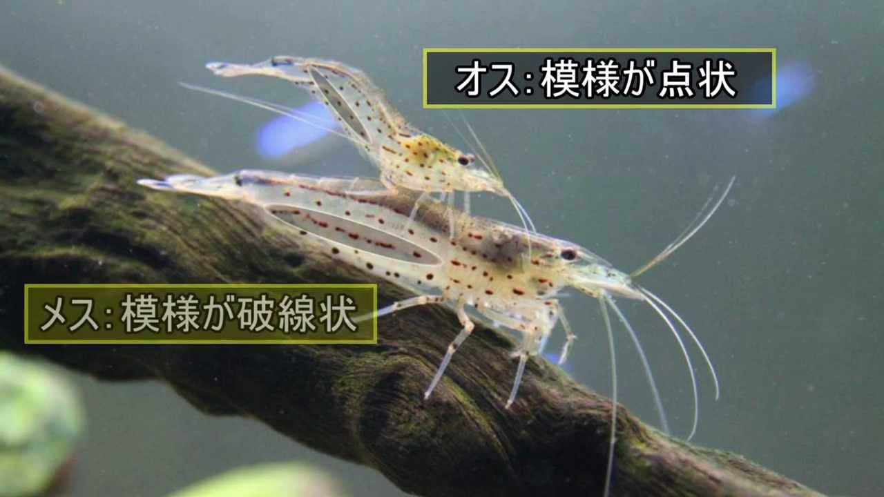 水槽内の掃除屋さん ヤマトヌマエビ - YouTube