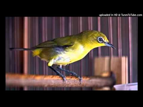 Audio Suara Burung PLECI untuk Pancingan NGOCEH - Masteran Pleci