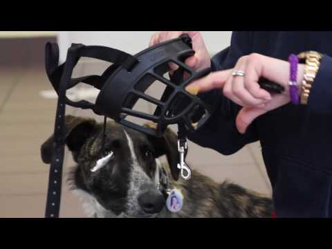 How to Acclimate Your Dog to a Muzzle