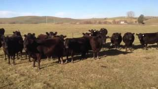 Des femmes appellent un troupeau de vaches en chantant