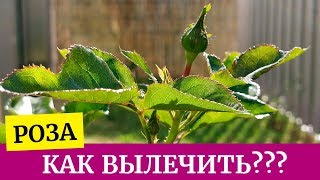 видео Грибковые заболевания роз: мучнистая роса и ложная мучнистая роса