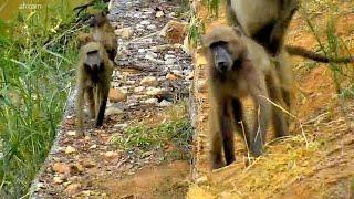 Дикая природа Африки На Слоновьей реке Olifants River : Верните бабуинам земли их предков Baboons