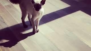 Ferocious Tonkinese Kitten