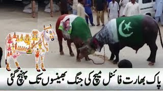 Gaumata   Pakistani Cow Beats Indian Gaumata   India Vs Pakistan   Champions Trophy 2017