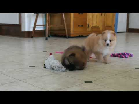 Teddy bear Pomeranian puppies for sale in Houston Texas | FunnyDog TV