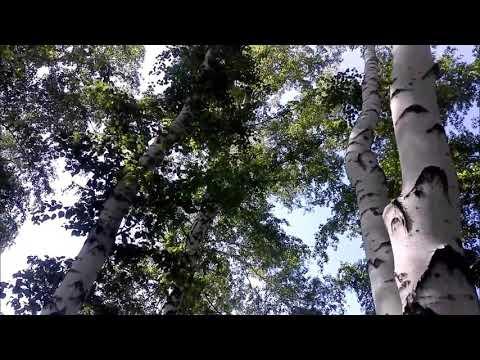Берёзовый лес.