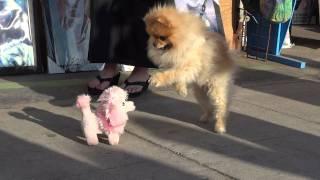 Pomeranian Barks At Toy Poodle Venice Beach California Jan 16, 2012