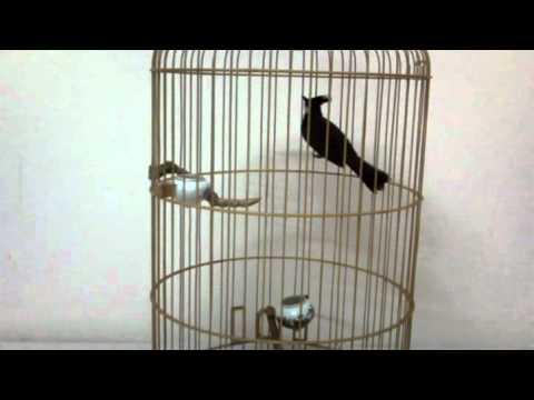 chào mào rơm khủng long -Kênh về chim Chào mào của Triệu Triệu
